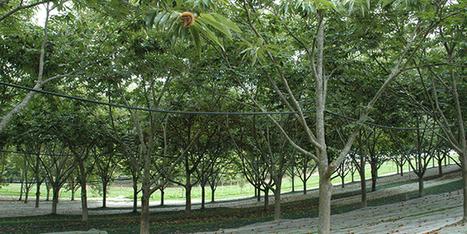 Réussir sa châtaigneraie bio dans le Sud-Ouest | Arboriculture: quoi de neuf? | Scoop.it