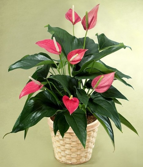 Anthurium Plant Care Guide | Garden, landscape, plants, flowers | Scoop.it