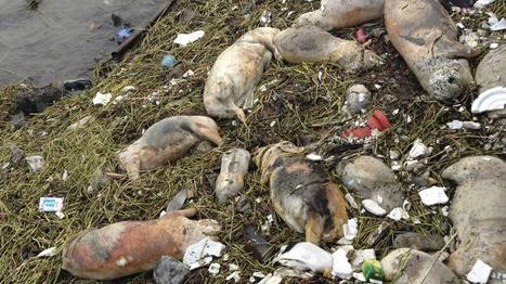 Au moins 900 cochons morts ramassés dans une rivière en Chine (+vidéo) | Toxique, soyons vigilant ! | Scoop.it