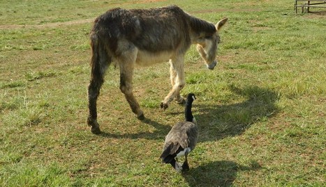 Donkey And Goose Become Best Friends After Losing Their Partners | Nature Animals humankind | Scoop.it
