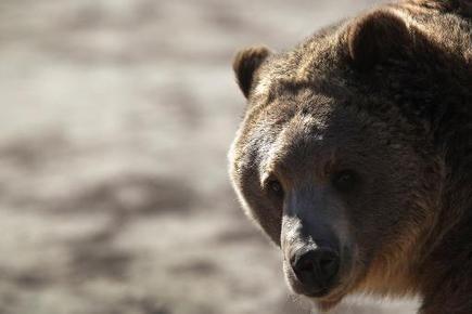 grizzly bear protected status   Dan330   Scoop.it