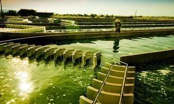 Giá tảo mặt trời Spirulina   Thuc pham dinh duong   Scoop.it