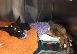 Mighty dog: California police K-9 survives bullet to face  | Pet-Related News | Scoop.it