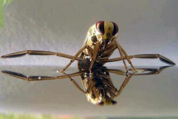 Des substances chimiques émises par les notonectes pourraient aider à contrôler les moustiques [en anglais] | EntomoNews | Scoop.it