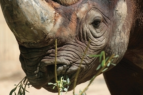 Rhinos Beeing Brutally Killed For Their Horns | Earth Island Institute Philippines | Scoop.it
