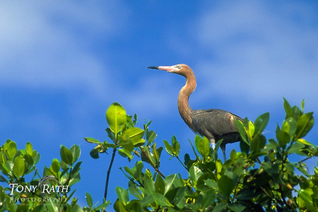 Reddish Egret in #Belize | Belize in Social Media | Scoop.it