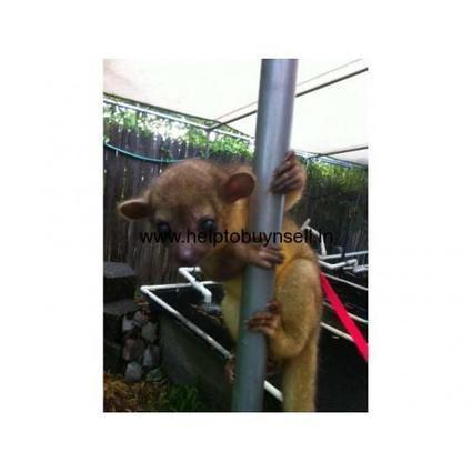 Beautiful Kinkajous for Sale for Christmas   Post Free ads   Scoop.it