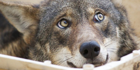 Wolves Might Use Their Eyes to Talk to Each Other | Strange days indeed... | Scoop.it