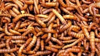 Groninger Jumbo gaat eetbare insecten verkopen   Business Development   Scoop.it