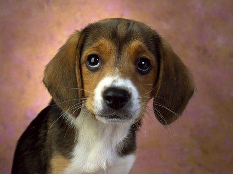 Beagle   My Favourite Dogs   Scoop.it