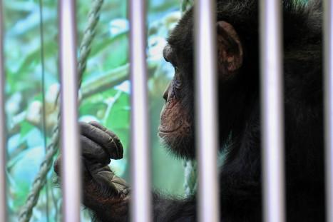 La justice américaine doit déterminer si les chimpanzés sont des personnes   Le recours aux forêts   Scoop.it