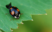 Radar reveals ladybirds fly at altitudes of up to 1 km and at speeds of up to 60 km/h | Amazing Science | Scoop.it