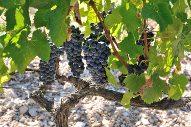 2012 Harvest Video at Paul Hobbs   Vitabella Wine Daily Gossip   Scoop.it