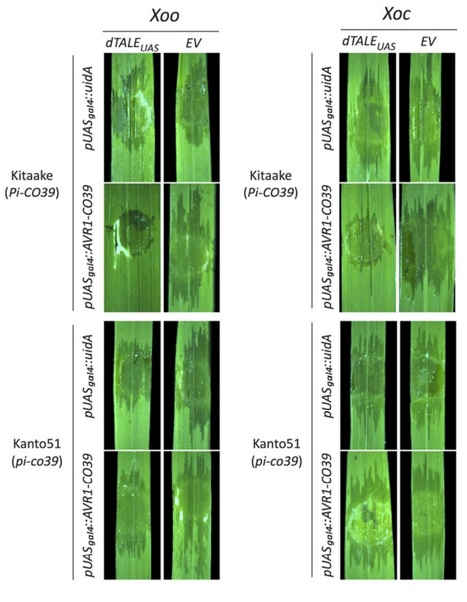 Ectopic activation of the rice NLR heteropair RGA4/RGA5 confers resistance to bacterial blight and bacterial leaf streak diseases - Hutin - 2016 - The Plant Journal - Wiley Online Library | Plant-Microbe Interactions that Andy Cares About | Scoop.it