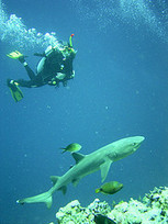 SCUBA SCOOP/latest dive stories: Shark Diving Tips | scubadiving | Scoop.it