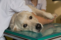 First cancer immunotherapy for dogs developed | In Your Pet's Best Interest | Scoop.it