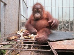 Orangutans Found in East Kalimantan Villages After Forest Clearing - The Jakarta Globe | Chris' Regional Geography | Scoop.it