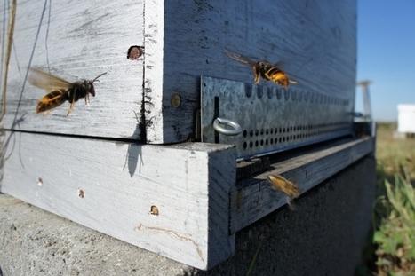39 frelon asiatique 39 in entomonews. Black Bedroom Furniture Sets. Home Design Ideas