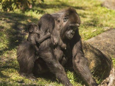 Busch Gardens Baby Boom highlights endangered species   Advocating for Wildlife   Scoop.it