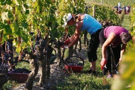 Quand raisin et feuillage se font concurrence | Agriculture en Gironde | Scoop.it