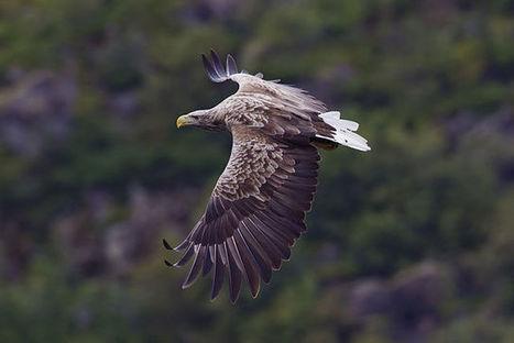 The Sea Eagle - 1842   British Birds of Prey   Scoop.it