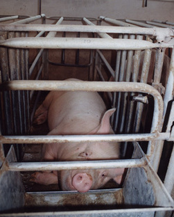 Factory Farms   Animal Welfare Approved   factory farms   Scoop.it
