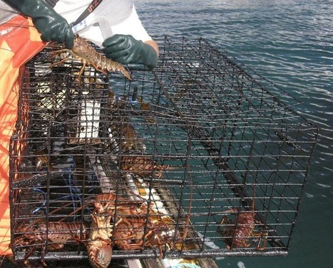 Fishermen gather data on lobster fishery | Chris' Regional Geography | Scoop.it