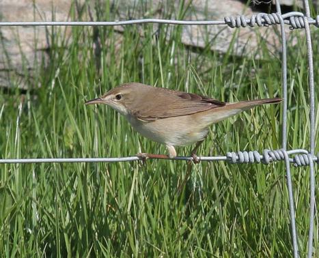 Blyth's Reed Warbler   Bird ID   Scoop.it