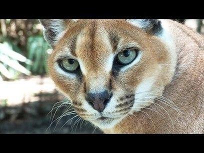Help Build New Wild Cat Enclosure! | Gold Bars | Scoop.it