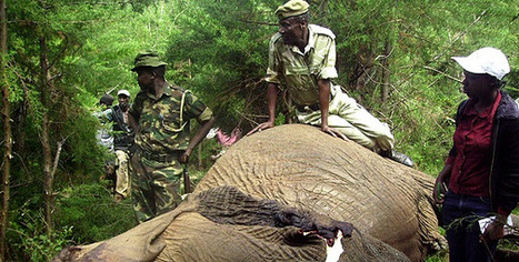 Poachers funding Al-Shabaab, reveals KWS   Wildlife Trafficking: Who Does it? Allows it?   Scoo