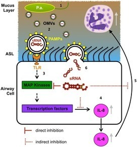 A Novel Mechanism of Host-Pathogen Interaction through sRNA in Bacterial Outer Membrane Vesicles | Membrane vesicle trafficking | Scoop.it