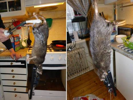 Giant rat takes over Swedish family's kitchen after tunnelling through cement in cellar | Interesting Reading to learn English -intermediate - advanced (B1, B2, C1,) | Scoop.it