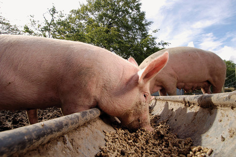 Animals may be fed manure-bred maggots to make meat sustainable | Food Trends & News | Scoop.it