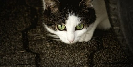 Life Expectancy of Domestic Cats | Information | Scoop.it