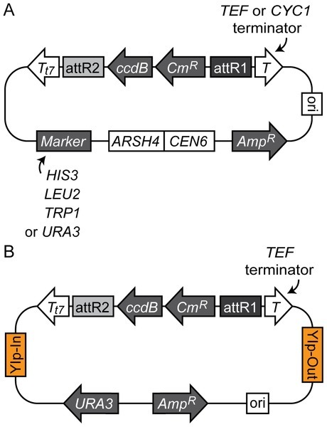 Gateway Vectors for Efficient Artificial Gene Assembly In Vitro and Expression in Yeast Saccharomyces cerevisiae | SynBioFromLeukipposInstitute | Scoop.it