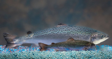 FDA declares genetically engineered salmon made by AquaBounty safe to eat | Amazing Science | Scoop.it