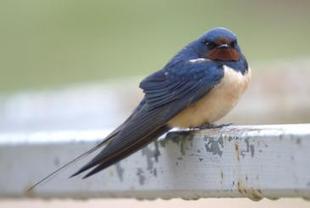No volverán las oscuras golondrinas / Noticias / SINC / Servicio de Información y Noticias Científicas   Las aves   Scoop.it