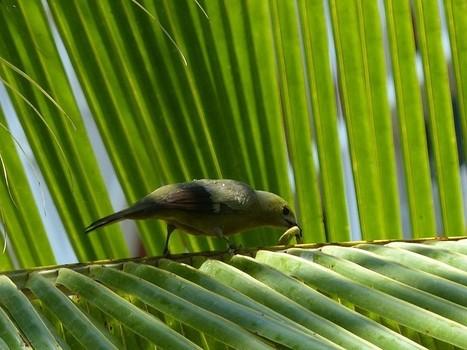 Photo de Thraupidé : Tangara des palmiers - Thraupis palmarum - Palm Tanager   Fauna Free Pics - Public Domain - Photos gratuites d'animaux   Scoop.it