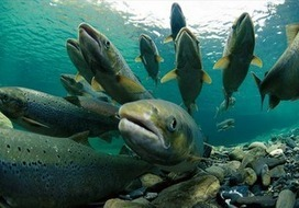 Blue Planet Society: Ecological disaster as 300,000 farmed salmon lost? | All about water, the oceans, environmental issues | Scoop.it