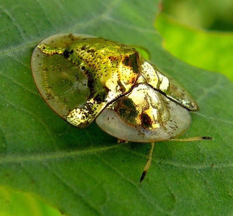 ALLPE  : Escarabajos tortuga, un universo de colores metálicos | BROTES DE NATURALEZA | Scoop.it