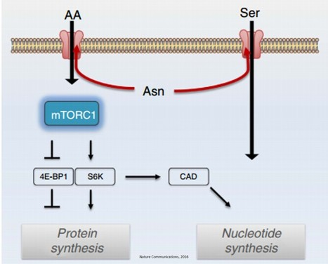 Amino acid exchange factor and cancer cell proliferation | Comparative Oncology | Scoop.it