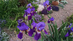 Arizona Gardeners: Many types of iris grow well in Pinal County gardens | CALS in the News | Scoop.it