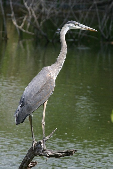 Great blues among largest of herons   Mary Ann's Nature Articles from The Hutto News   Scoop.it