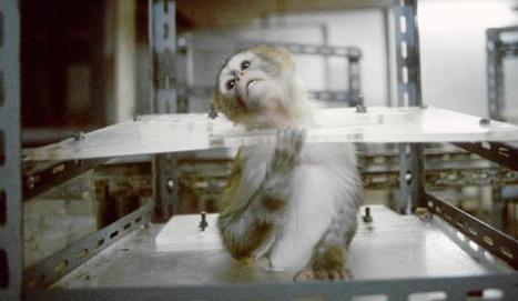 Los grandes simios, libres de experimentación | Experimentación con animales | Scoop.it