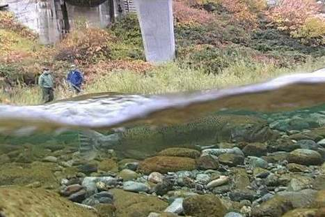 Salmon surveys find low fish counts on Salmon, Trinity rivers - Eureka Times Standard | Aquaculture Directory | Scoop.it