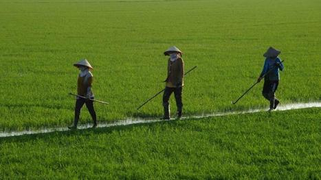 Vietnam rice boom heaping pressure on farmers, environment | Sustain Our Earth | Scoop.it