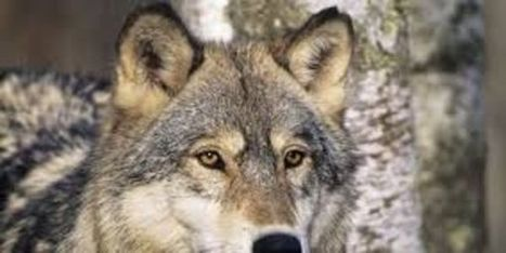 petition: Say No To The Swedish Wolf Hunt! | ~ADVOCATING FOR ALL ANIMALS~ | Scoop.it