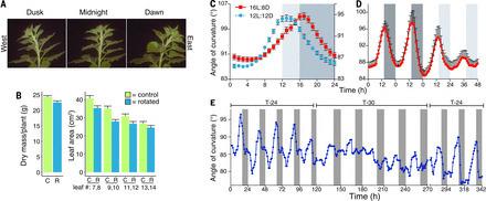 Circadian regulation of sunflower heliotropism, floral orientation, and pollinator visits | plant cell genetics | Scoop.it