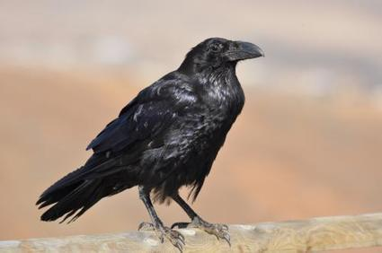 Bad reputation of crows demystified | animals and prosocial capacities | Scoop.it
