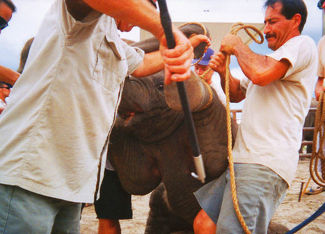 Urge Ringling Bros. to Stop Cruel Elephant Acts NOW—Not in Three Years! | Science and Nature | Scoop.it